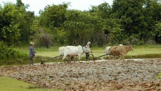 Cambodian rice farmers with ox-driven ploughs